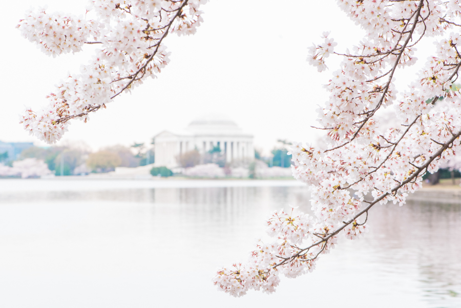 DC Cherry Blossoms 46