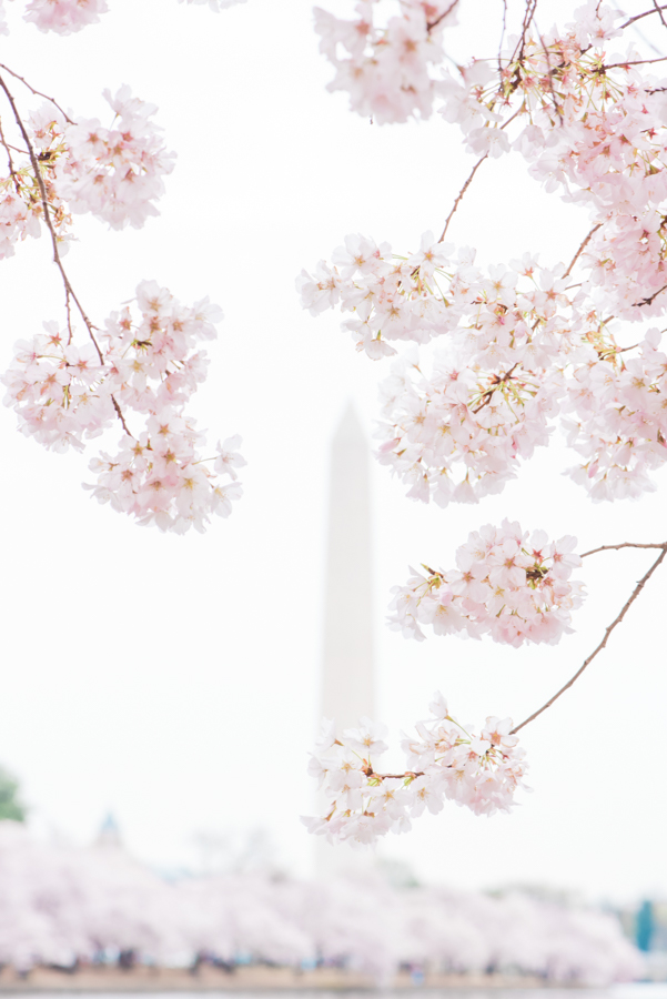 DC Cherry Blossoms 51