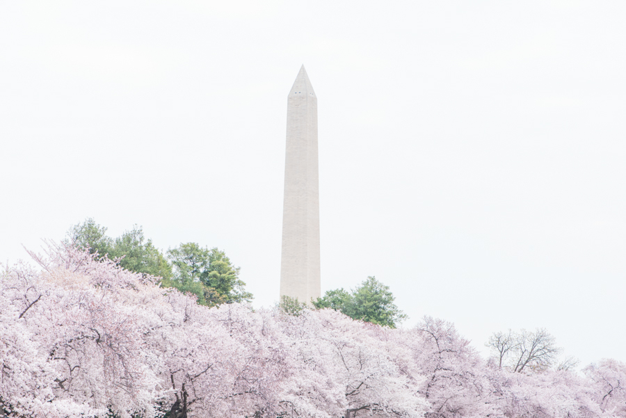 DC Cherry Blossoms 53
