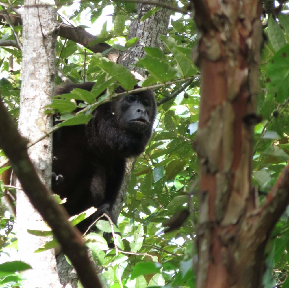 howler monkey, common sight, Selvista gardens, Isla Ometepe wildife