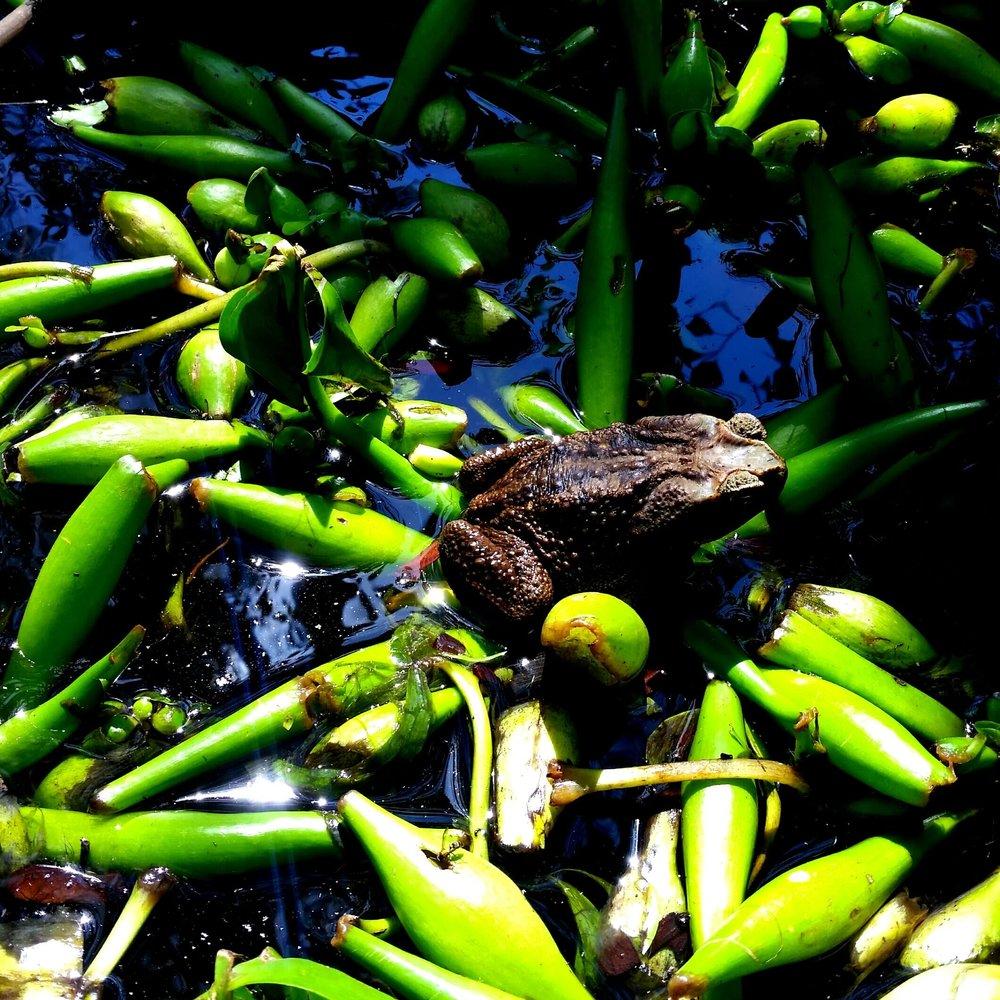 cane toad, not invasive here, Selvista wildlife