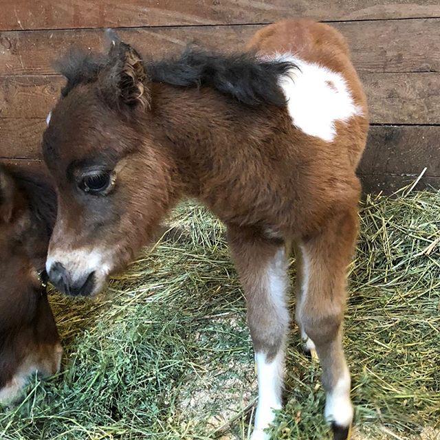 Paisley, 1 day young  #miniaturehorsesofinstagram #shetlandpony #amhr #baypintohorse