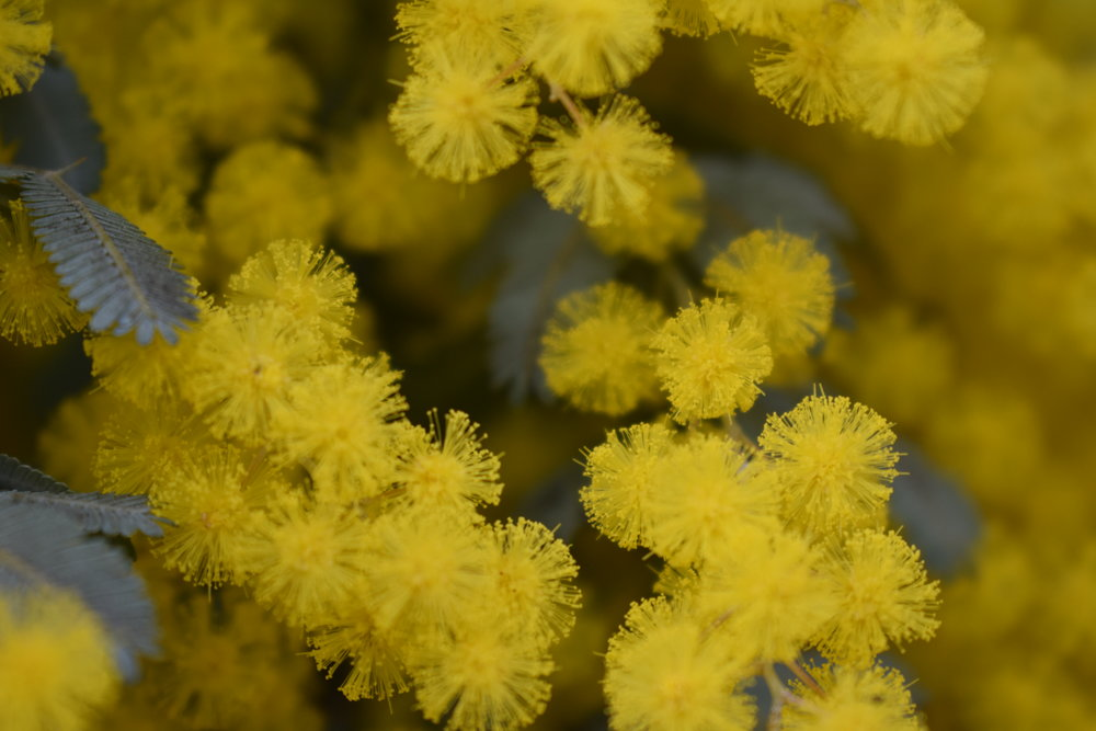 A wattle in late winter glory