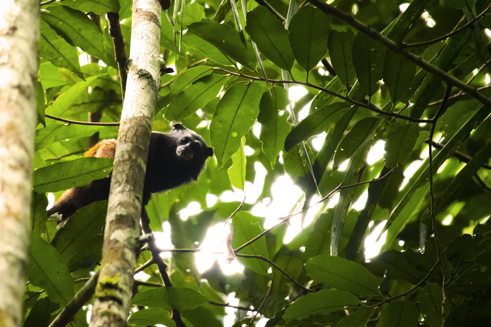 Tamarind Monkey in the Tambopata region of the Peruvian Amazon