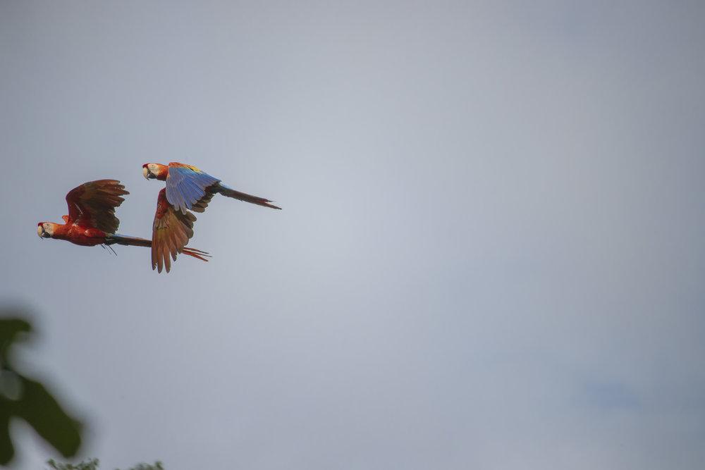 refugio amazonas macaws.jpg