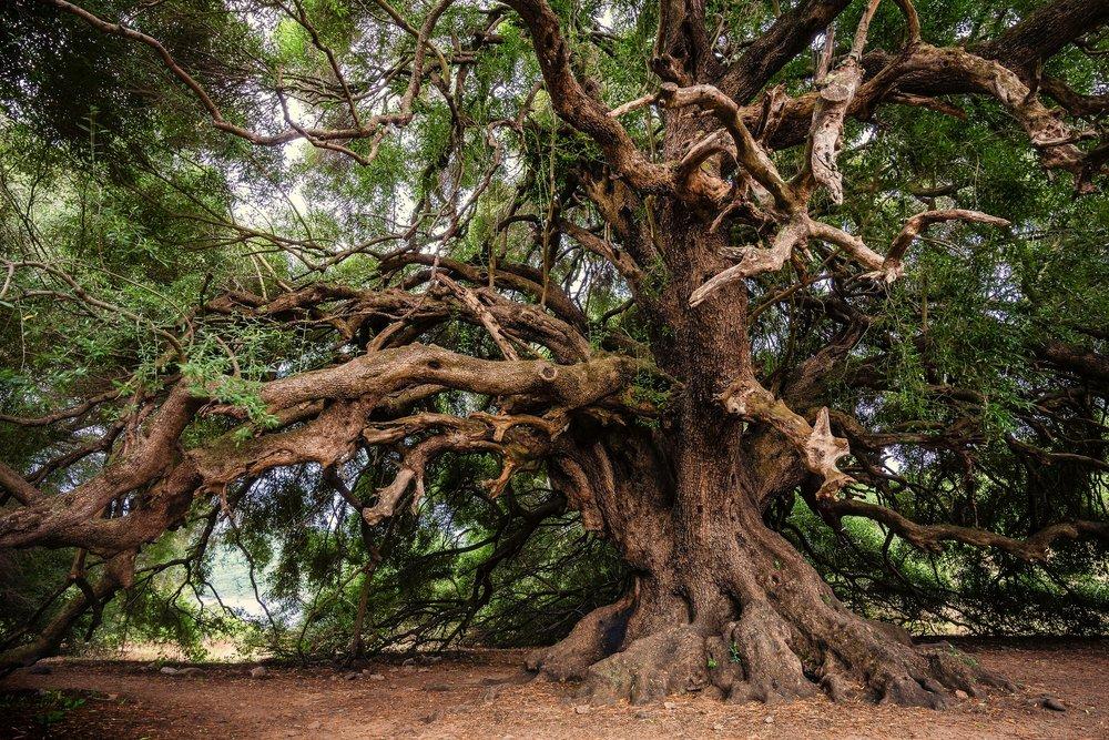 olive-tree-3579922_1920.jpg