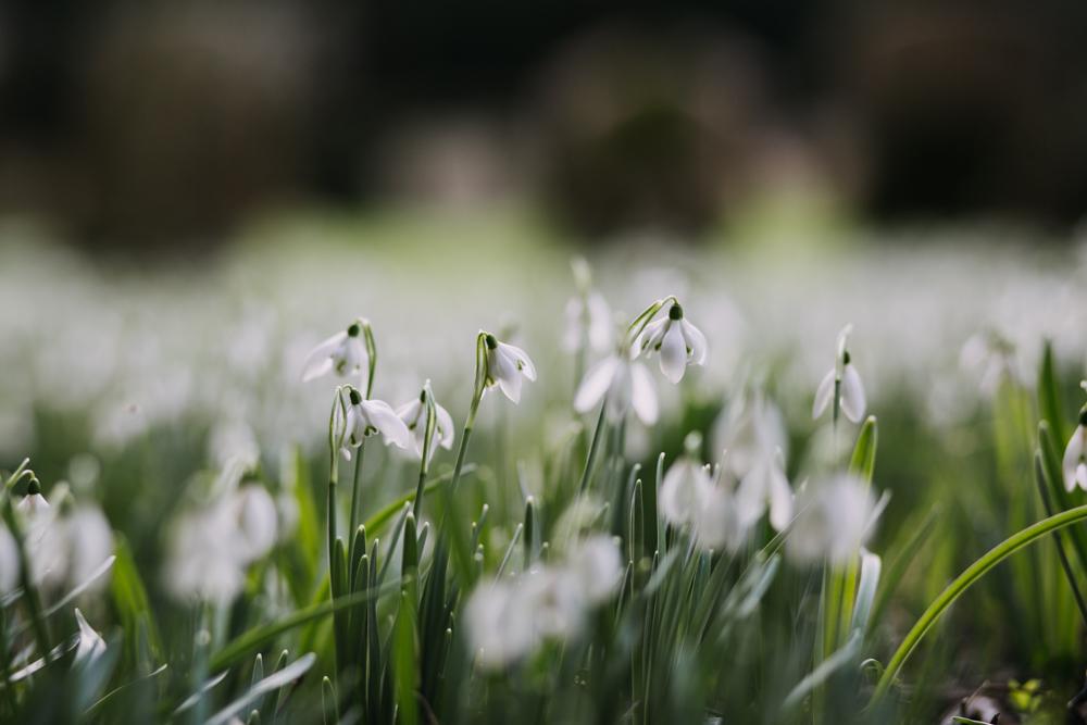 swyncombe-snowdrops-churchyard-oxfordshire-evanemeth_02.jpg