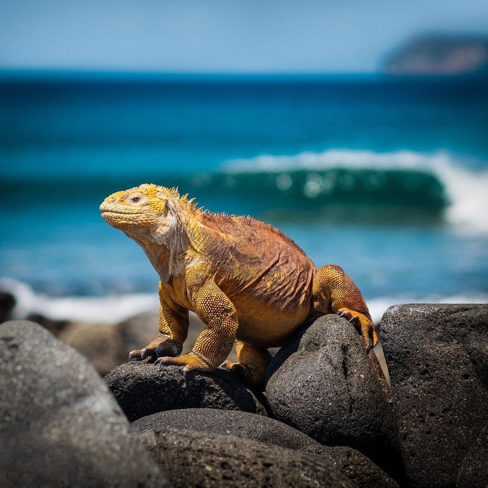 galapagos iguana-3500924_1920.jpg
