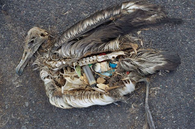 Microplastics found in Albatross stomach