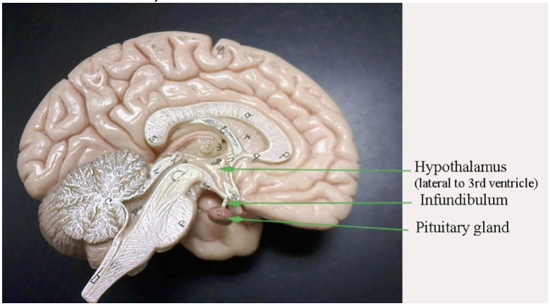 Pituitary_Gland.png