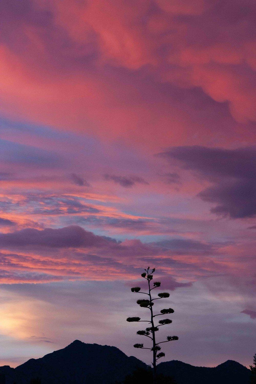 Sunset Century Plant Silhouette