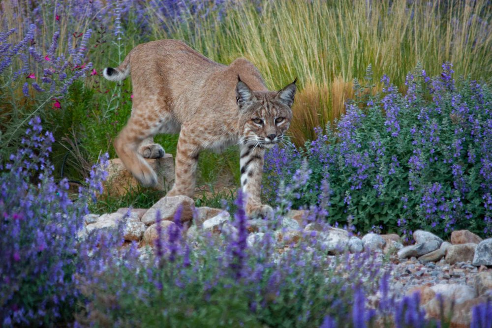 Bobcat walking.jpg