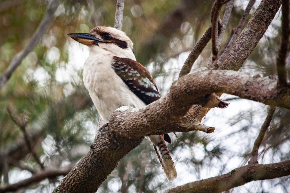 Morning Kookaburra