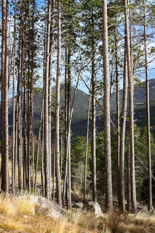 Rocky Mountain_Trees_8318.jpg
