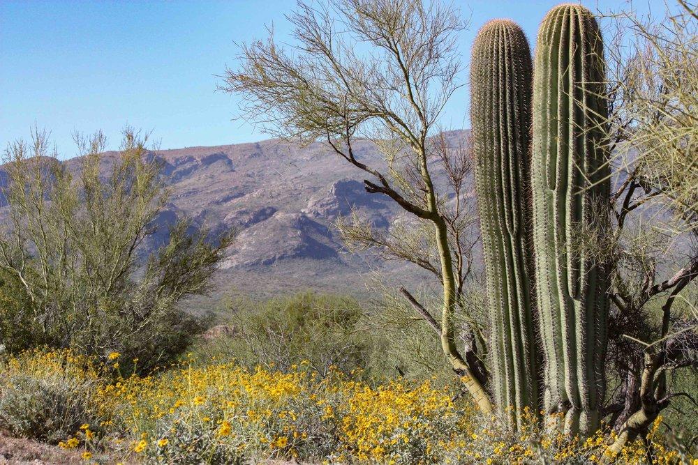 Saguaro & Spring Blooms.jpg