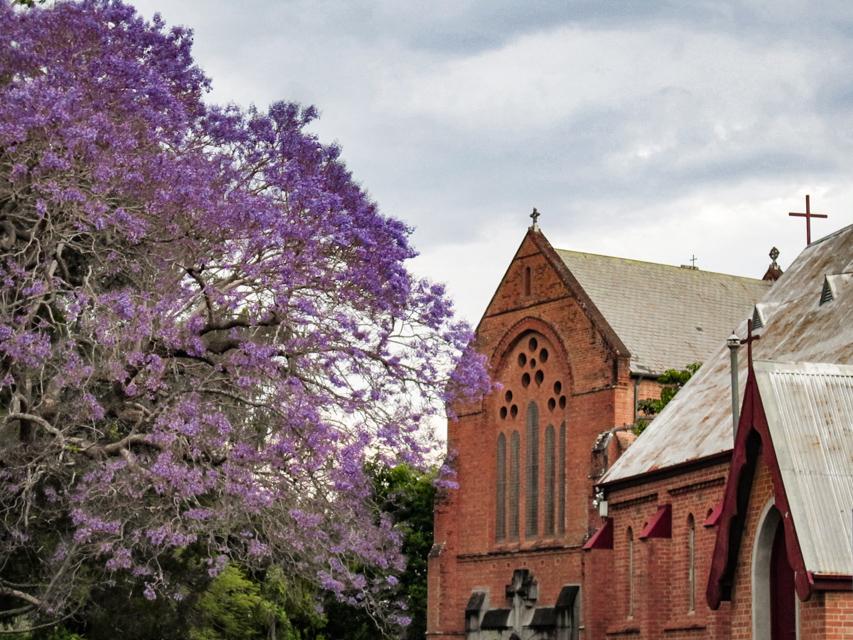 Jacaranda Tree (Grafton, Australia)