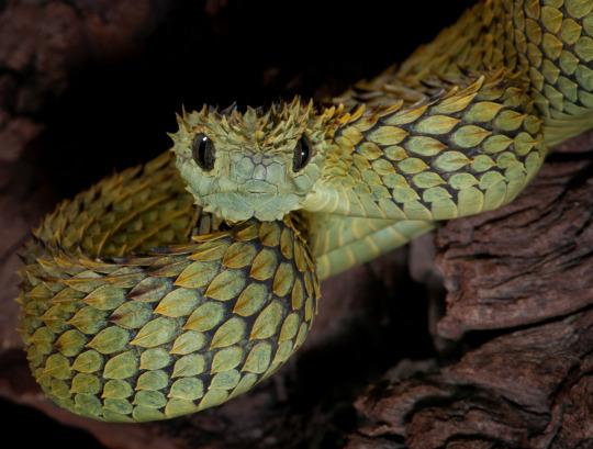 hairy viper.jpg