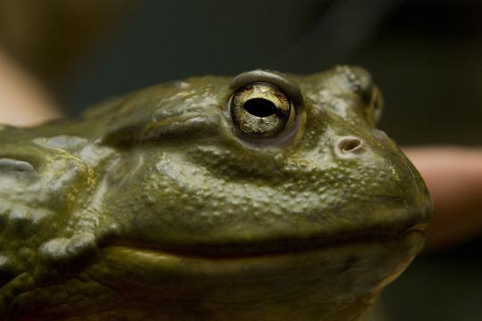 giant toads.jpg