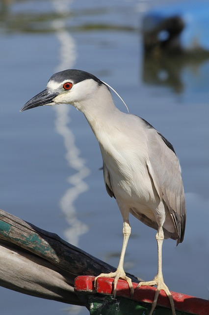 A black crowned night heron. Note its red eyes, sizable crest, and long, thin legs ending in gripping talons.