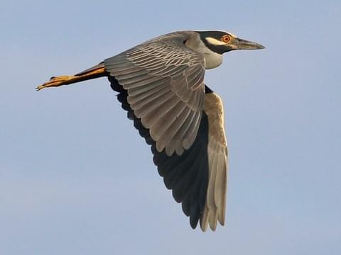 A black-crowned night-heron in flight.