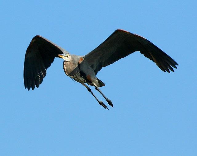 A great blue heron in flight.