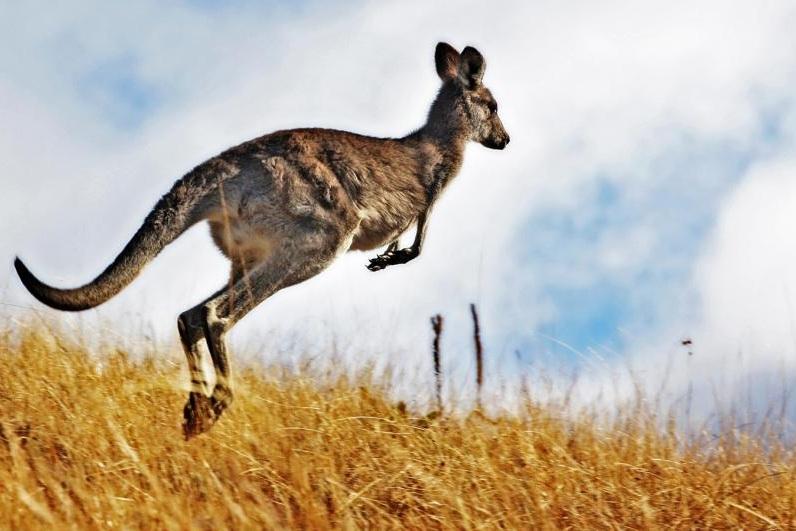 phantom+kangaroo