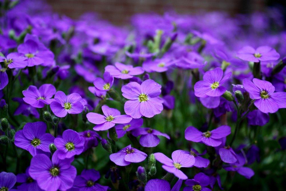PurpleClover.jpg