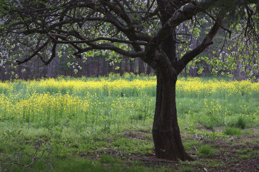 Spring Apple TreeIMG_4114.jpg