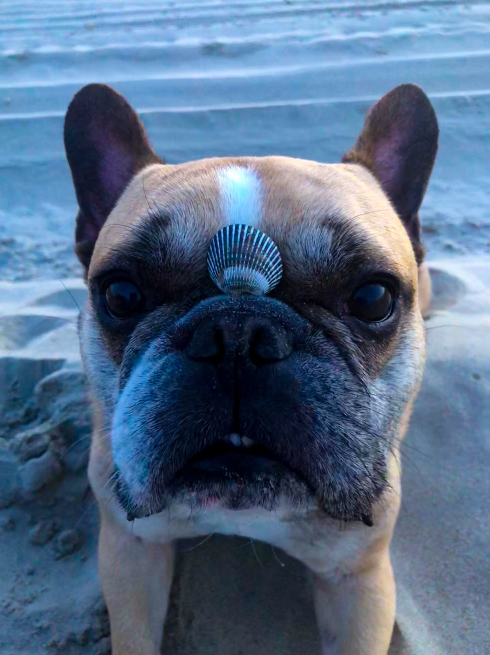 Maximus Bailey, 6   International FDS Bikini Mascot  Virginia Beach, Virginia / France   @_the_ fatimus_maximus _
