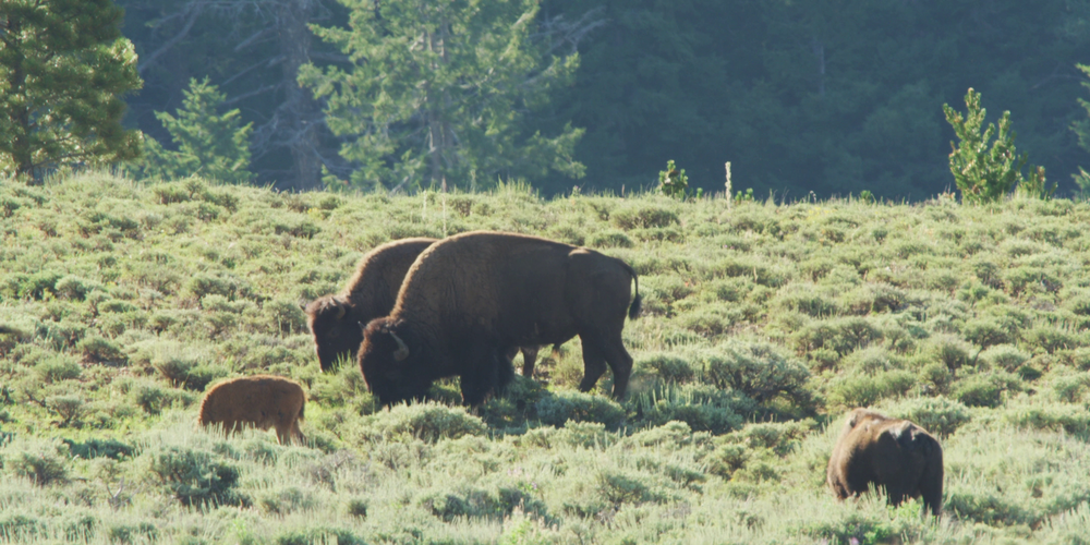Wild, genetically pure, brucellosis-free, Henry Mountains bison roam over 385,000 acres