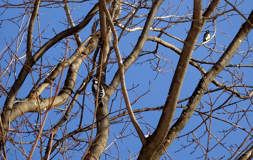 woodpeckers-2.jpg