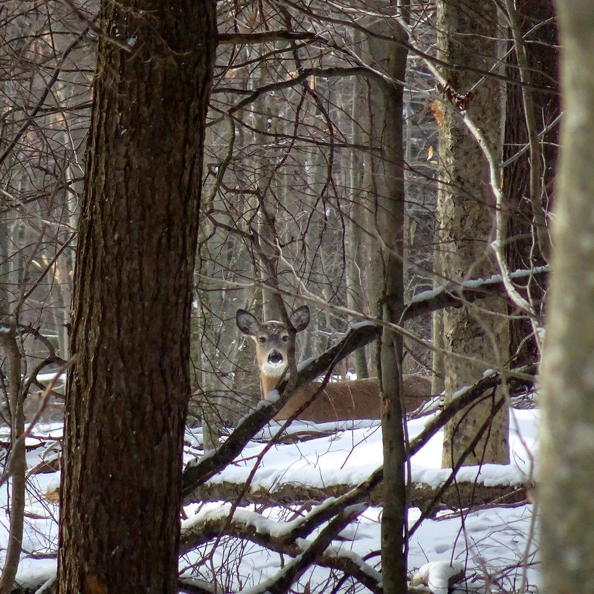 deer-sq