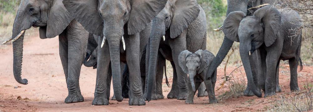 community elephants.png
