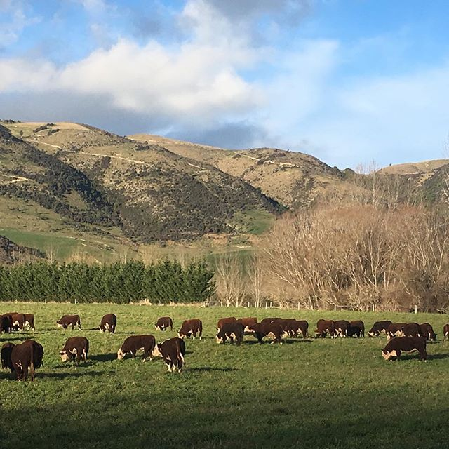 Bulls loving a brief change of diet #nzherefords #herefords #sgl #whitefaceadvantage #nzfarming #salesept26th
