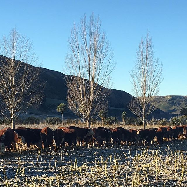 Bull calves enjoying their baleage, while the frost melts #herefords #nzherefords #sgl #whitefaceadvantage #nzfarming #eatmorebeef