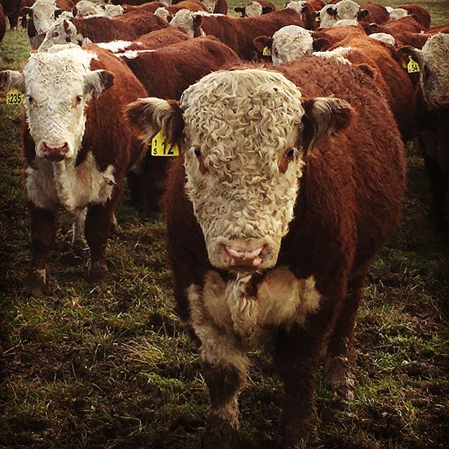 """ Come on open the gate!""........ ""Yay about time!"" #sgl #whitefaceadvantage #nzherefords #bullsalesept27"