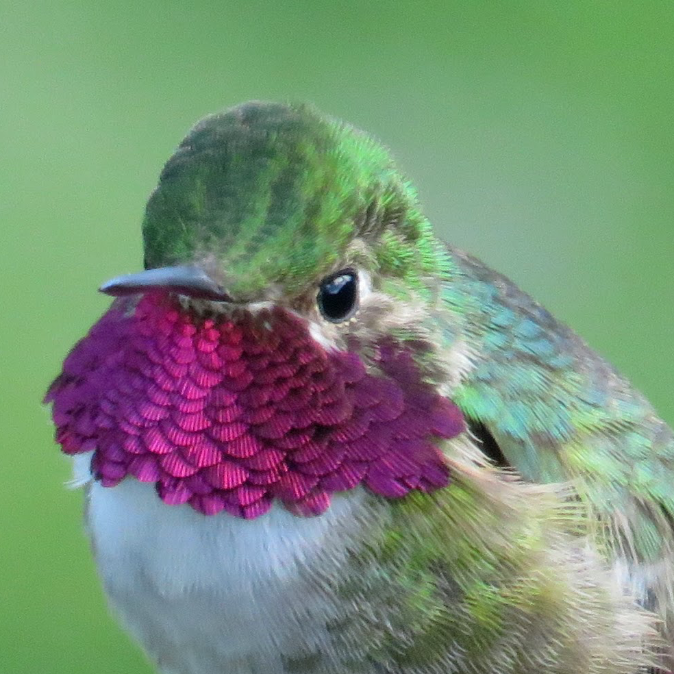 A male Broad-tailed Hummingbird © M. C. Stoddard
