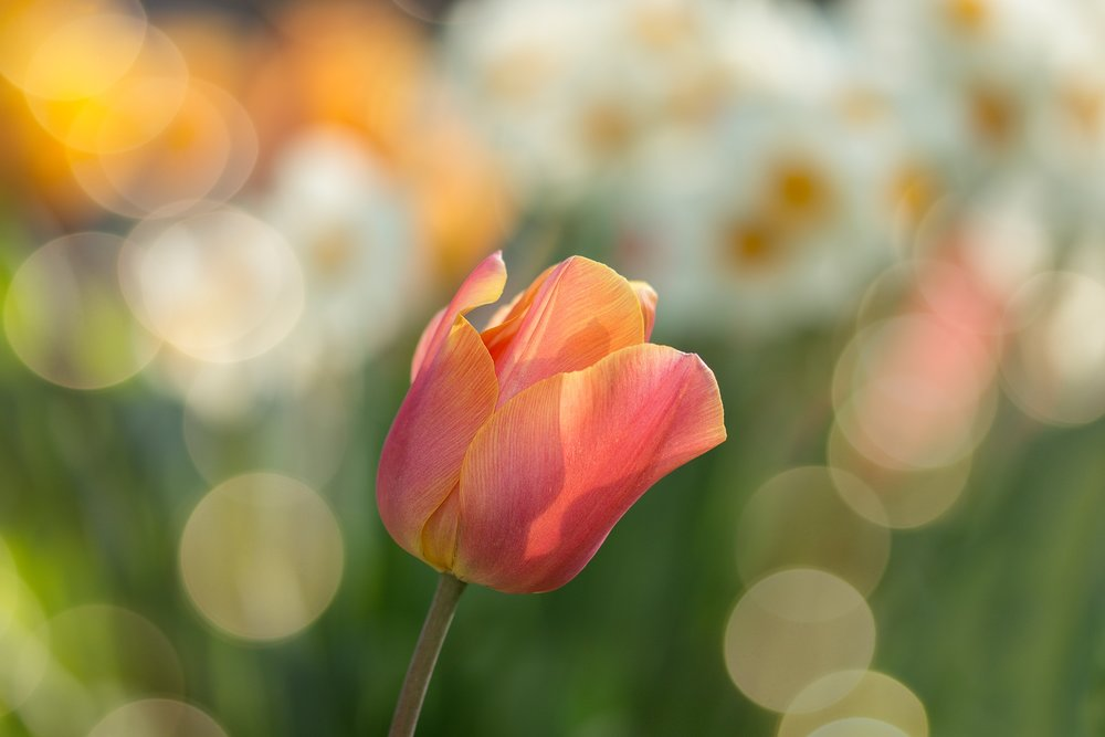 tulip-2189317.jpg