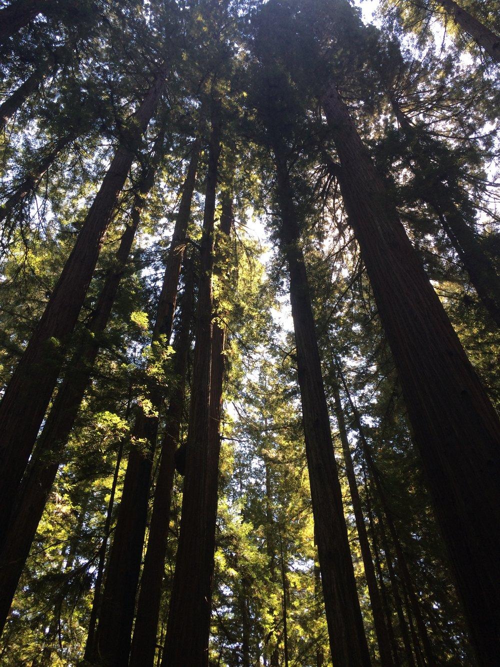 60adb-redwoodsredwoods.jpg