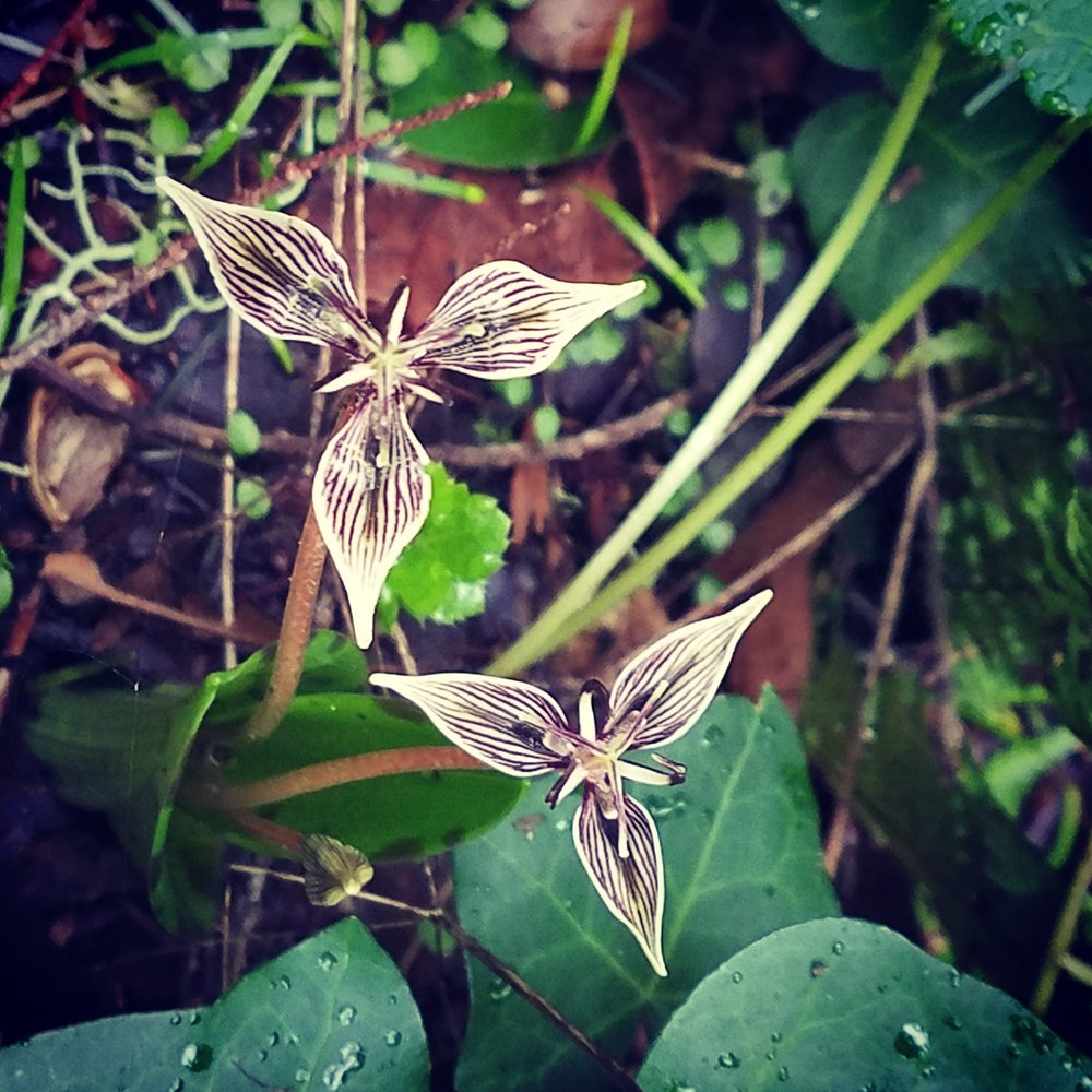 I saw my first Adder's Tongue in Bloom Today. - They were lovely little beings. ♥