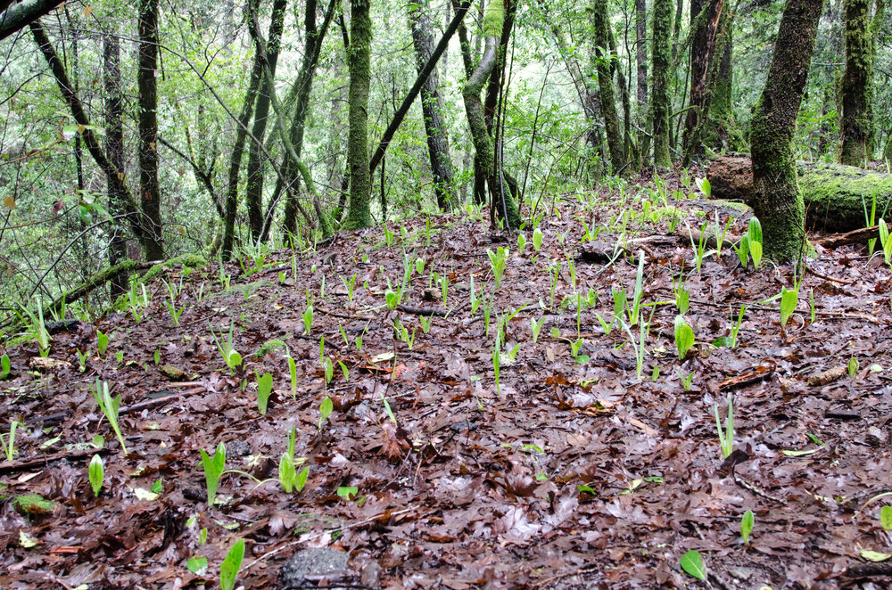 Last Week… - I started stalking these happy pairs of leaves sprouting from the forest floor to wave at the sky.