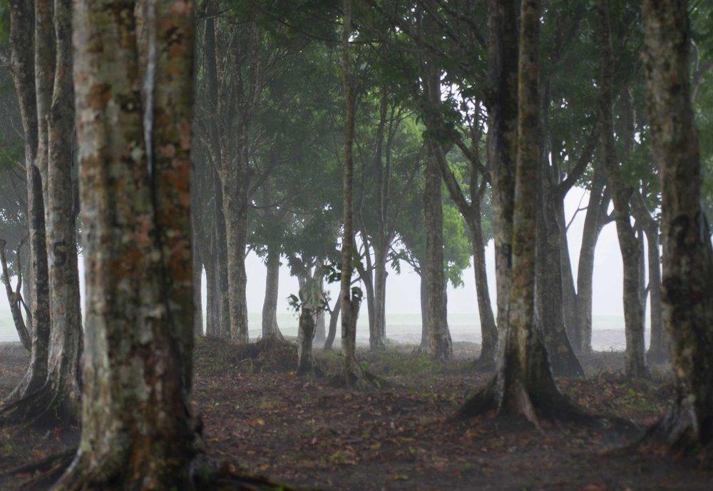 2-mature-pili-nut-trees.jpg