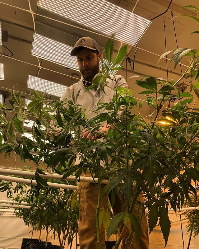 Bending and stretching plants creates a uniform canopy and, with the right pruning, aids light penetration. A little work now saves a lot of work later! . . . . #Maine #mainecannabis #led #ledgrow #fullspectrum #nextlight #nextlightmega #mainecaregivers #cannabisculture #medicalmarijuana #medicalcannabis #neverstopgrowing #MCE #cuttingedgesolutions #mammothmicrobes #illegallyhealed #420 #medical #THC #sativa #indica #craftbud #boutiqe #buylocal #portlandmaine #flower #leafly #mmj #CBD #mainebringstheheat