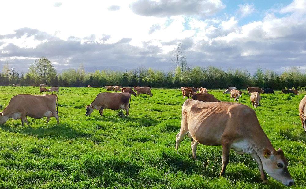 cows-dairy-ingredients.jpg