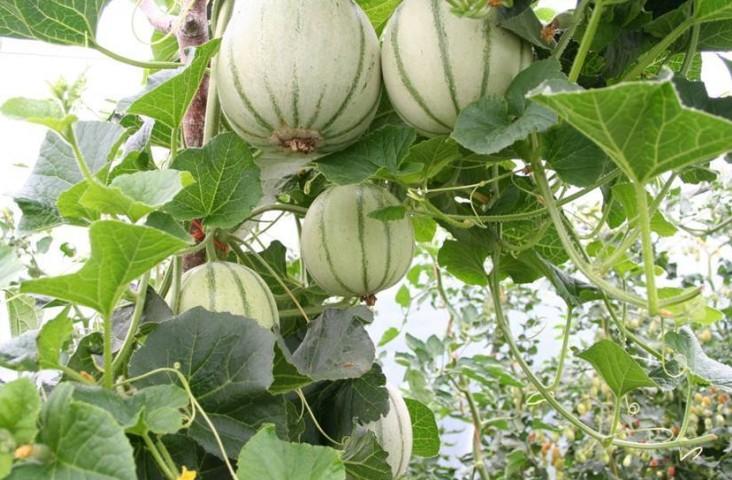 melons cut.jpg