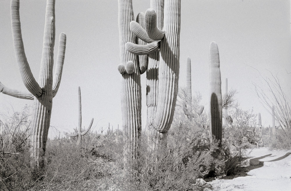 Saguaros, Tucson, Arizona Gelatin silver print, 4 x 6 in From the book 13 Presidents Published by  Slimvolume  (2016)