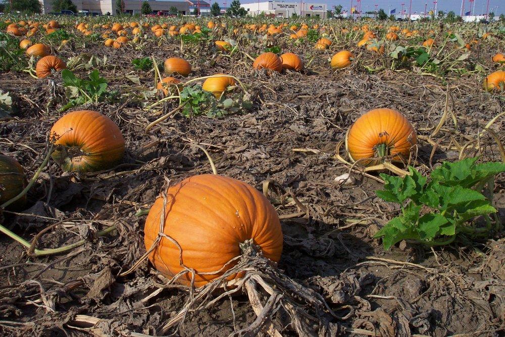 pumpkins_27054634259_o.jpg