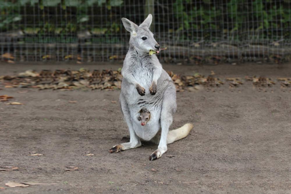 Kangaroo Creek Farm-The Royal Kelowna-Bellstar-04.png