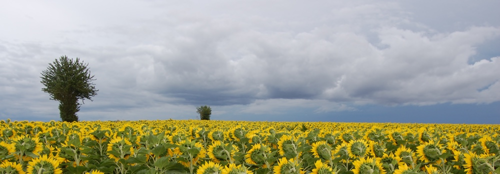 new-sunflower-banner.jpg