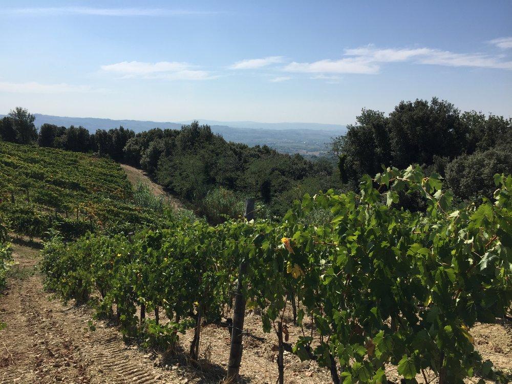 Vineyards of Fattoria Castellina Toscane